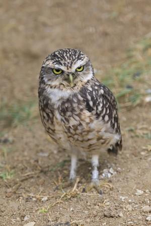 Burrowing Owl Portrait photo