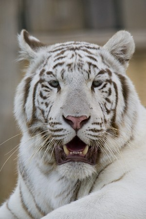white tigers: White Tiger Portrait
