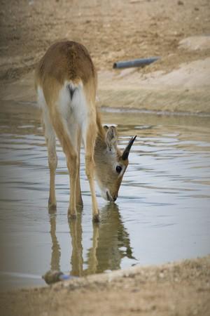 Antelope Portrait photo