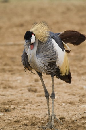 Crowned Crane Stock Photo - 7650210