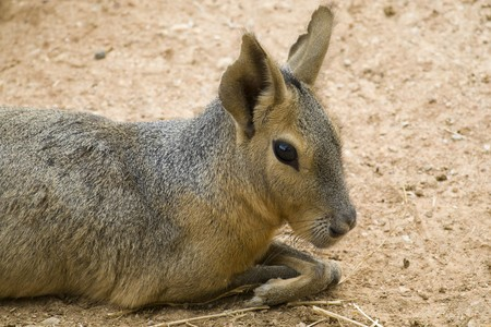 patagonian: Patagonian Hare Portrait Stock Photo