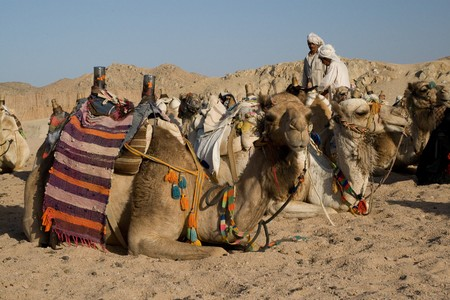 HURGHADA, EGYPT - JUNE 6: We take a closer look at the camels in Sahara Desert, Egypt, on June 6, 2008. Here beduins wait for tourists to take a camel ride so that they can earn some money for their families.