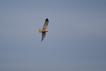 Hawk in Danube Delta wildlife reserve on a sunny summer day photo