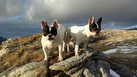 white dog: French Bulldog portrait on rocky mountain top on a warm winter day at sunset Stock Photo