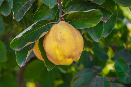 yellow  green: Quince tree with ripe fruit. Yellow ripe quince. Quince is ready for harvesting.