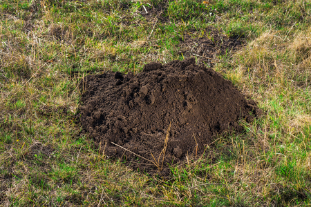 left behind: Soil left behind by a mole covering the hole.