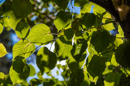 thorough: Leaves of linden tree lit thorough by sun. Sunny linden leaves. Sun shining through leaves.