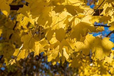 red maple leaf: Maple leaves lit by the autumn sun. Yellow maple leaves. Golden autumn maple leaves. Stock Photo