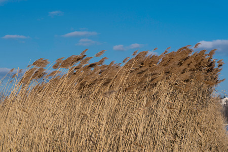 swaying: Swaying reed under blue sky with some clouds.