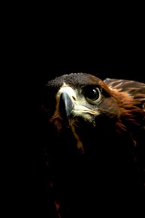 golden eagle: Steinadler hautnah