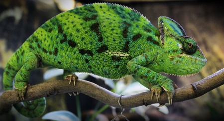 Green male chameleon on the tree Stock Photo