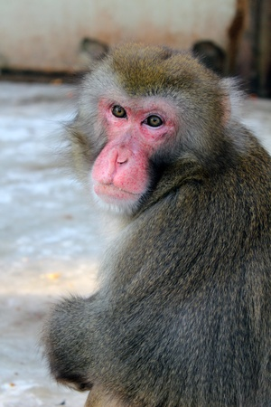 japan macaque Stock Photo