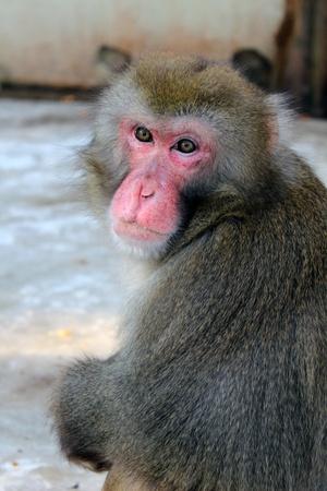 macaque: japon macaque