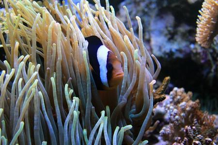 big clown fish: clown fish in anemone  Stock Photo
