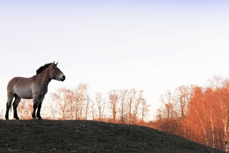 Przewalski Horse  Equus ferus przewalskii  on the meadow in autumn Stockfoto
