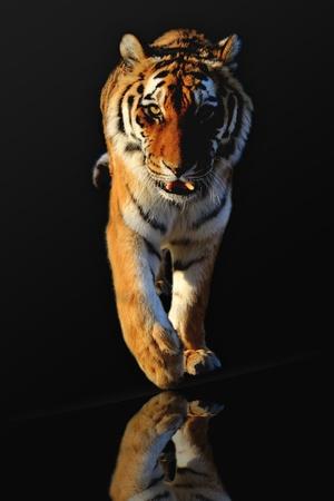 isolé tigre sur fond noir