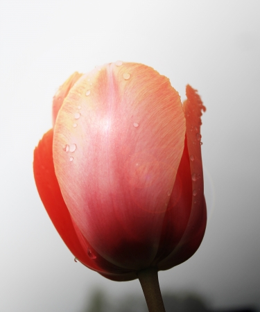 tulip alone photo