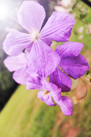 spring violet flowers Stock Photo - 14526399