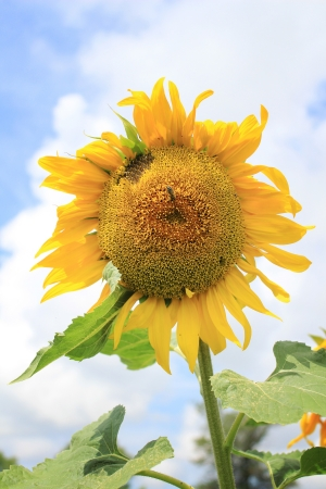 sun flower against blue sky photo
