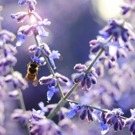Bee collecting honey on lavendar flower Stock Photo - 14947624