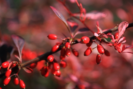 barberry: Barberry branch