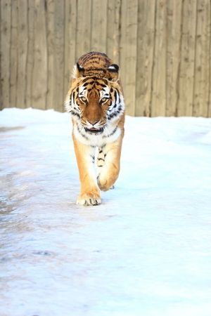 Tiger walking on ice Stock Photo