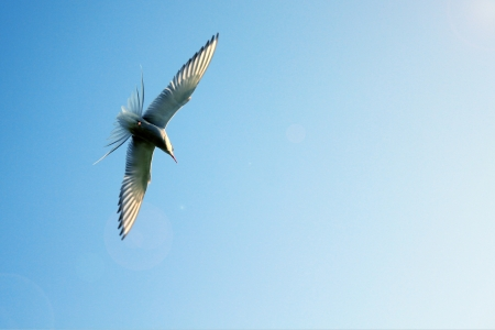 beautiful seagull in the bright blue sky  photo