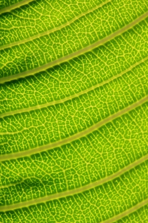 contrasty: Green leaf background texture