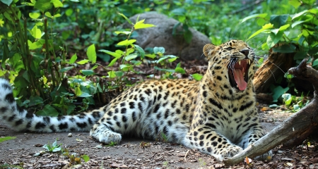 amur: Amur leopard yawning