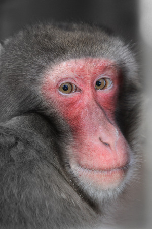 Close up of a Japanese Macaques