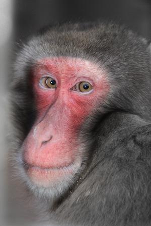 Monkey - Japan Macaque