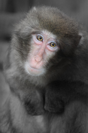 Portrait of sad monkey looking in camera.
