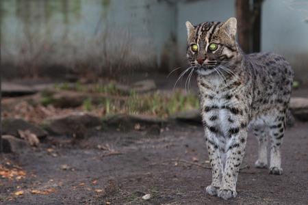 Fishing cat, Prionailurus viverrinus, asian, endangered predator