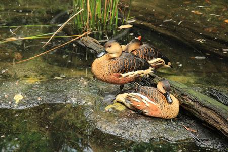 Australian ducks resting on stone