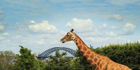 Australian Sydney Taronga Zoo Giraffe Stockfoto