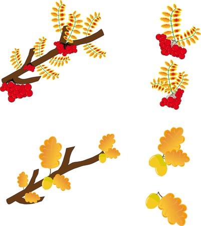 rowanberry: Illustration  leaves oak,  rowan-berry