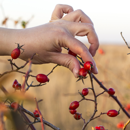 Rosehips in hands with rosehip background, concept of harvest and picking Stock Photo