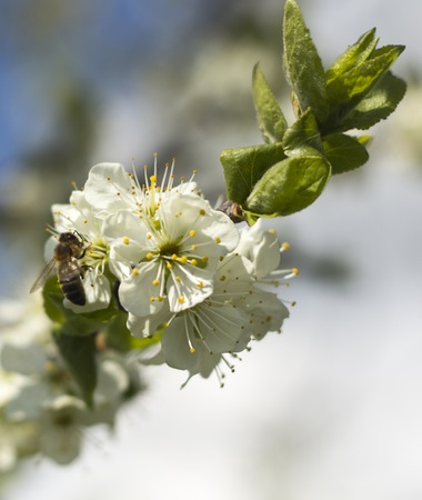 Beekeeping in the garden. A bee collects nectar on a blossoming apricot branch. Hard work on a Sunny spring day.