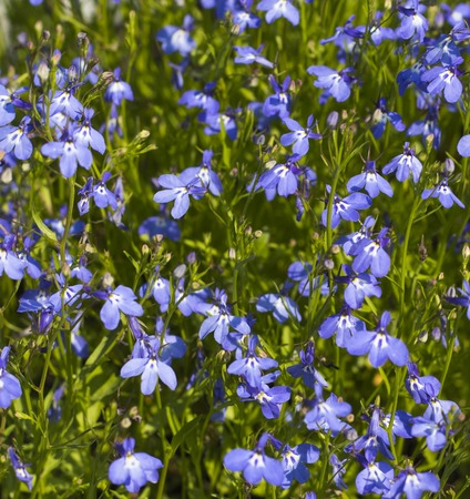 Background of many blue summer flowers. Foto Stock Photo