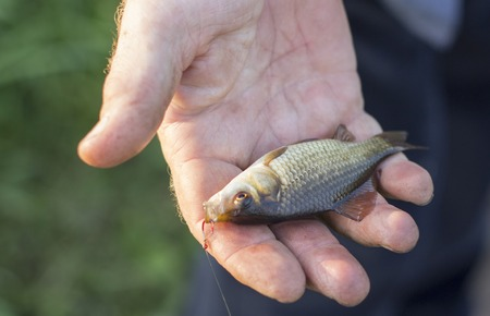 Crucian carp in fishermans hands, sunset soft light.