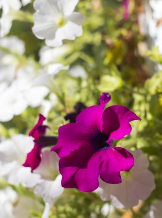 amanda: A macro shot of a begonia flower.
