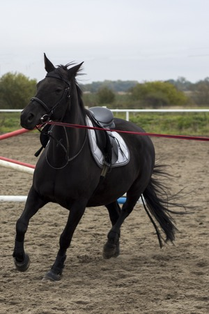 Beautiful young black horse gallops on arena