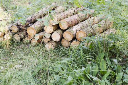 Round pine wood logs - piled up Wood supplier Storage of felled tree trunks Stock Photo