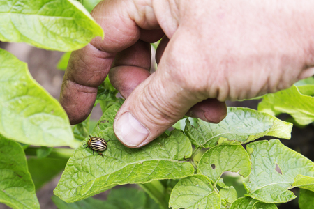 protection from the Colorado potato beetle