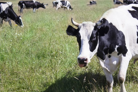 Funny cow on a green meadow, looking at camera on background of blue sky and forest Stock Photo
