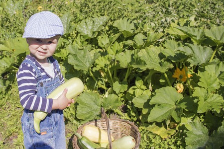 a little boy collects the zucchini Stock Photo