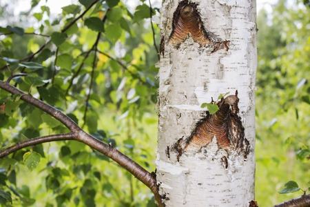 Trunks of birch trees in the foreground Stock Photo