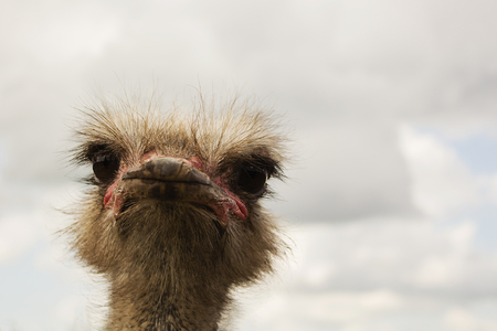 ostrich bird head and neck front portrait Stock Photo