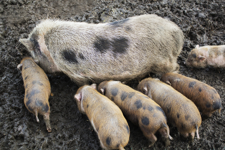 Cute spotted piglets, piglets feeding