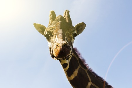 Portrait of a curious giraffe on a blue sky background